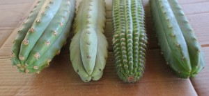 Trichocereus collection