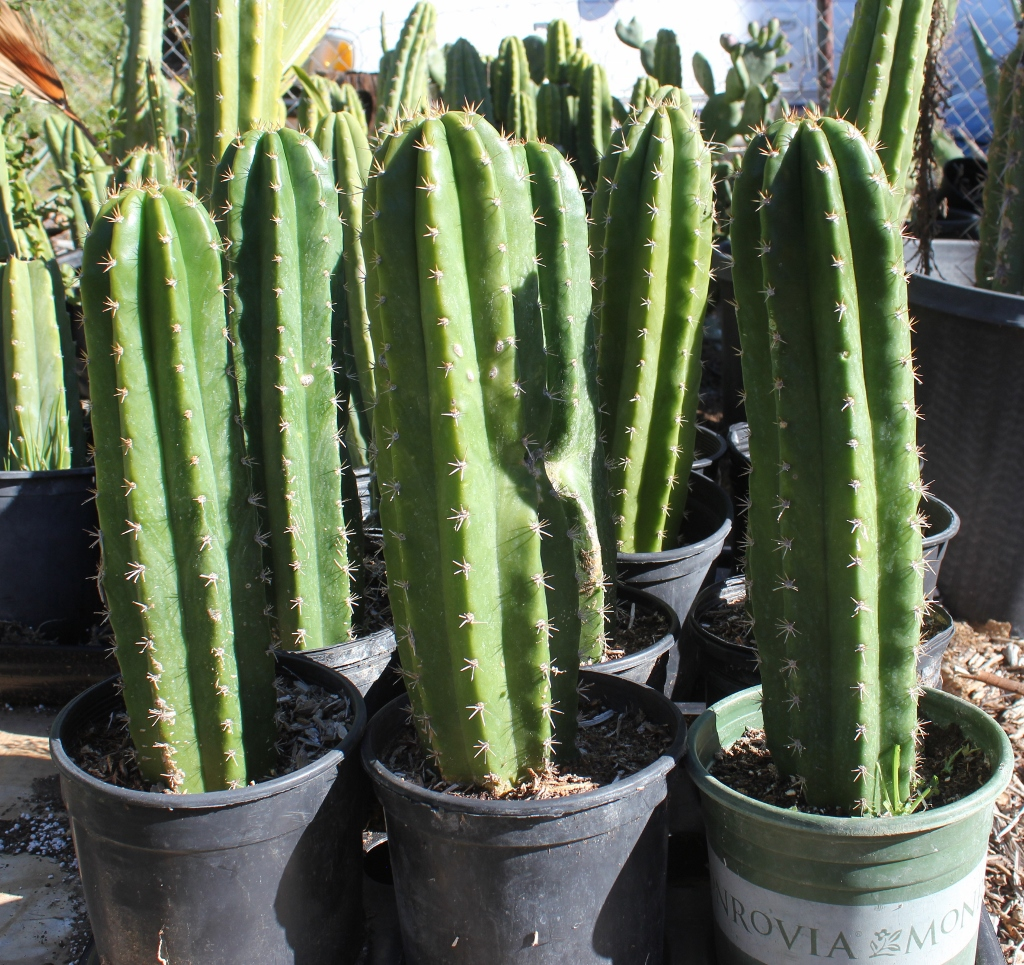 Potted trichocereus type ifo uk 10 14 potted in 1 gallon Cactus pots for sale